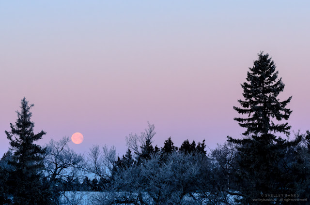 Just before 8 a.m. facing west, the setting moon is bright pink coin in the sky. © SB