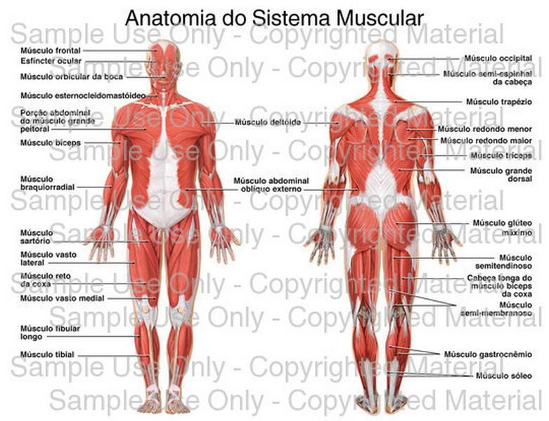 Contemporáneo Anatomía Básica Del Músculo Colección de Imágenes ...