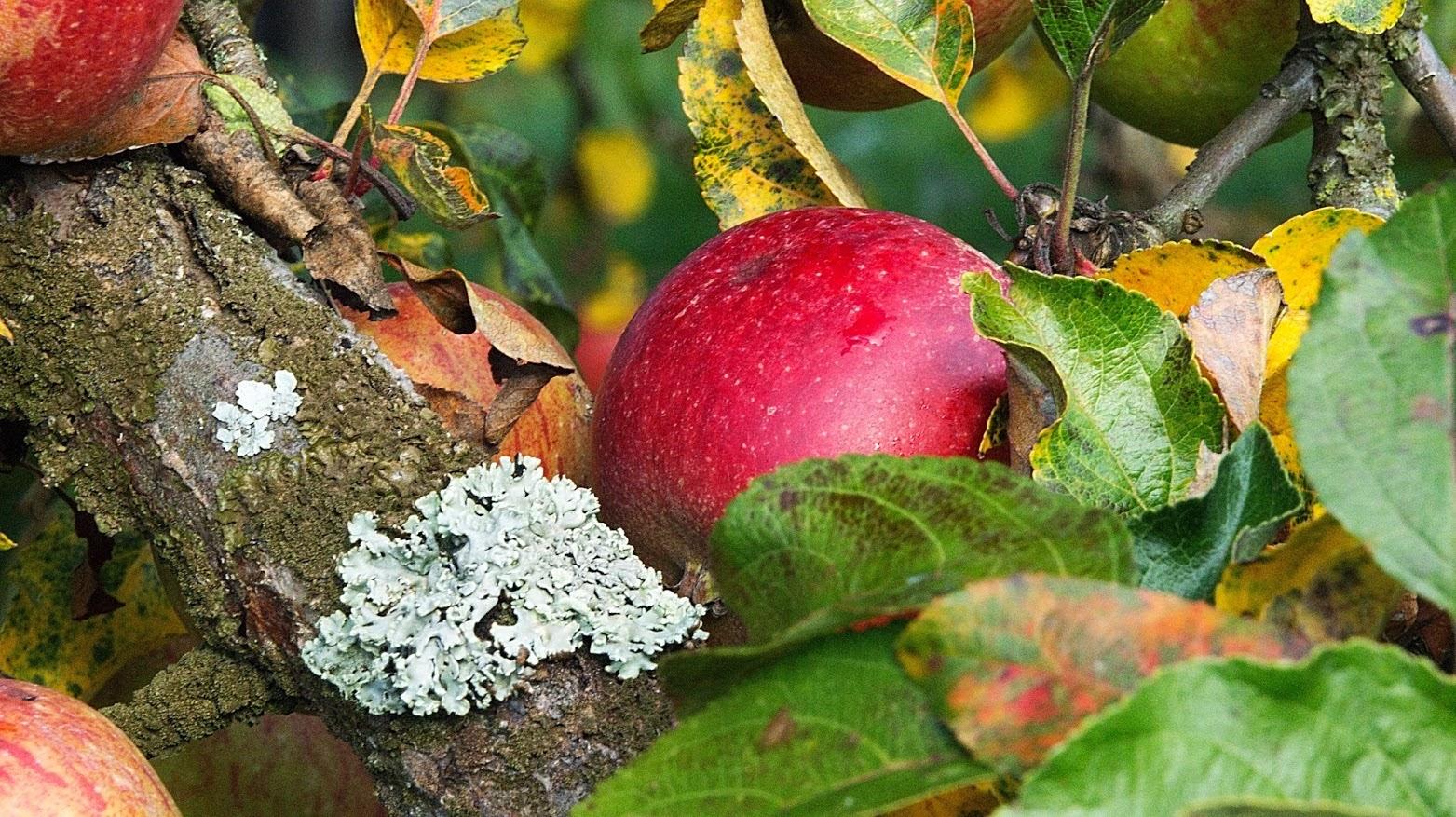 Podzimní jablíčko