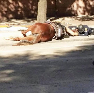 Texas officer lies with his horse