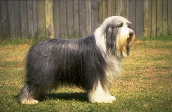 Bearded Collie Rescue Dogs Available
