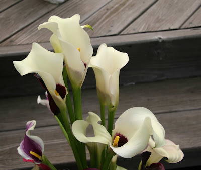 Calla Captain Volante new