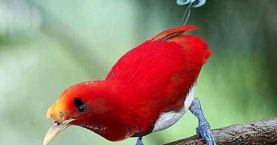 Burung Cendrawasih Raja King Bird Of Paradise Cicinnurus Regius Ryan Maigan Birds