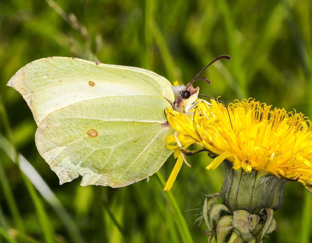 Brimstone, Gonepteryx rhamni, male, on a dandelion.  Monad 4061, 19 May 2014.