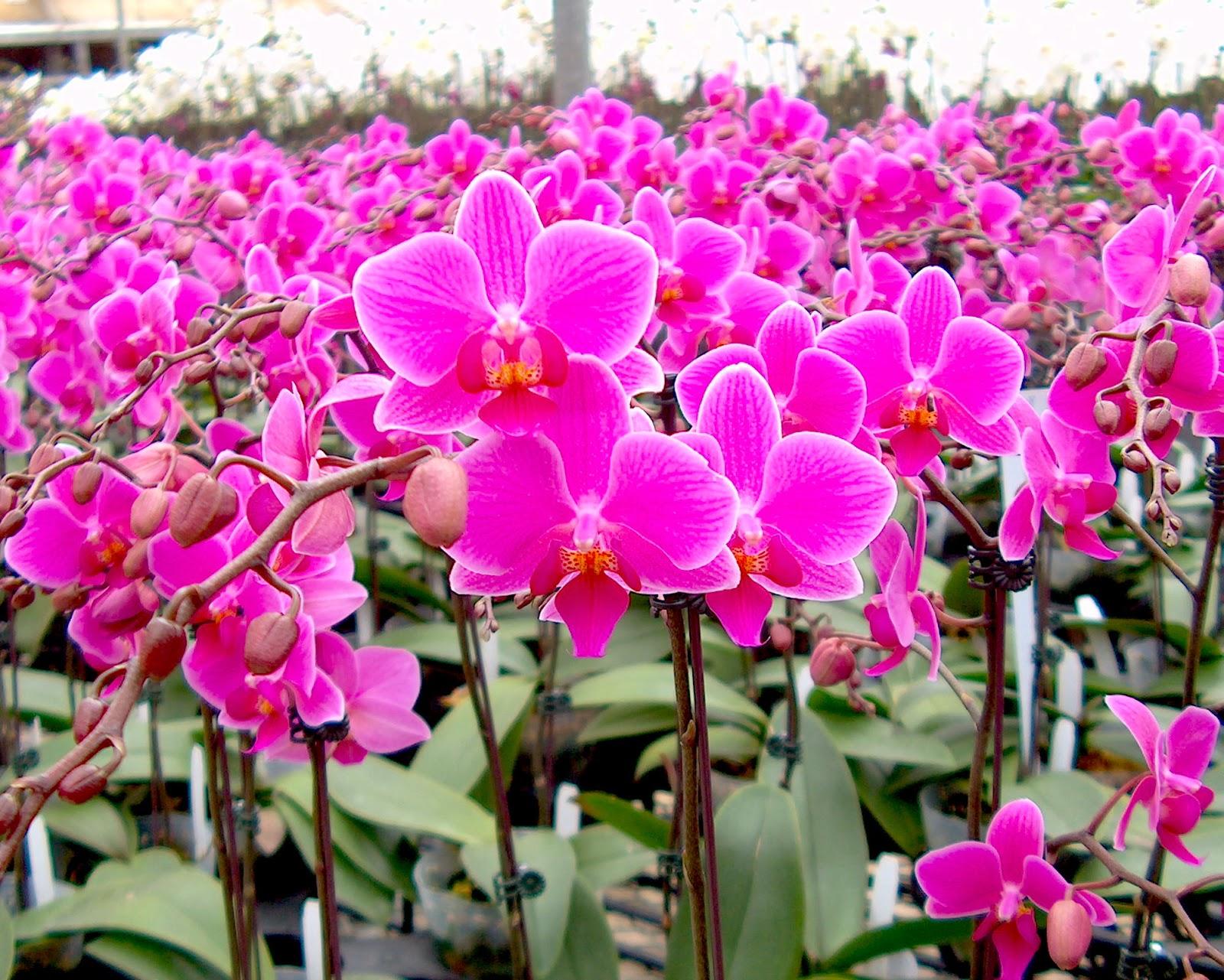 "Doritaenopsis Wedding Promenade ""M"" Orchid Flowers"