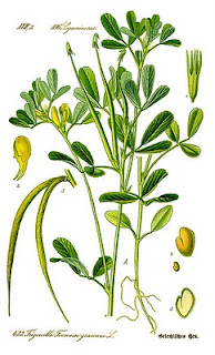 Drawing of fenugreek from Wikimedia Commons