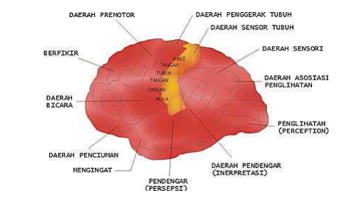 Otak dan kegiatan-kegiatan yang dikontrolnya