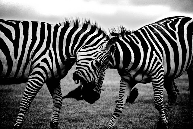 Zebra Fighting black and white photo