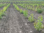 Establishing and Maintaining Hybrid Poplar Plantations