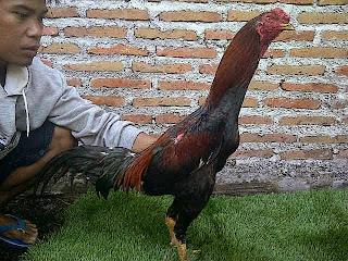 Ayam Pakhoy Saparifarm