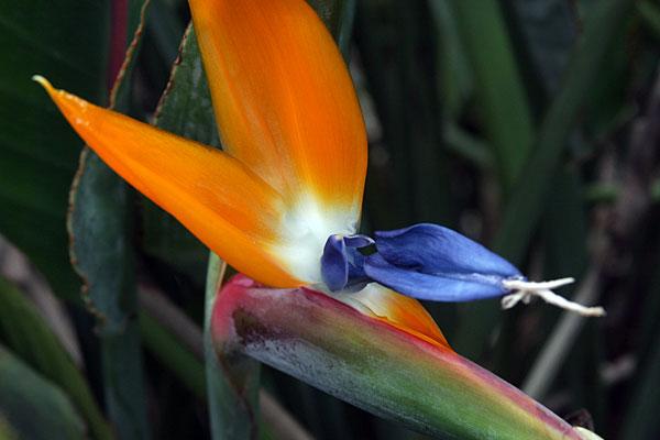 visiter okinawa japon l oiseau du paradis cette trange fleur. Black Bedroom Furniture Sets. Home Design Ideas