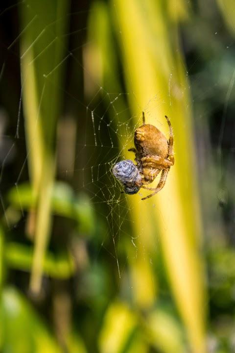 Fotografía macro de una araña con su presa