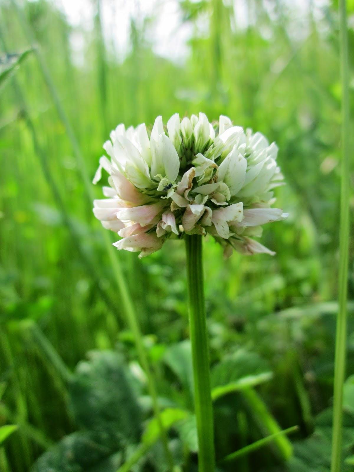 El jardín de la alegría : Trébol blanco enano (Trifolium repens ...