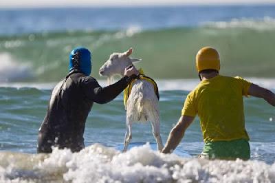 kambing dalam air