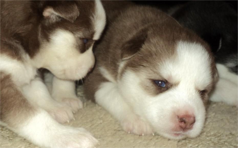 Enfermedades de perros - Infecciones de la piel y