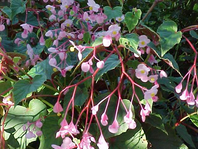 The hardy begonia begonia grandis the garden of eaden for Hardy plants for the garden