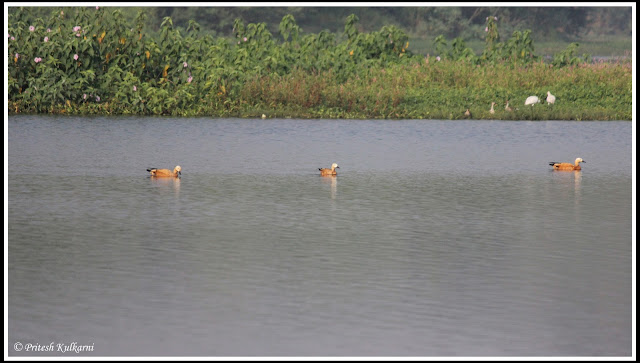 Ruddy sheldduck at Pashan