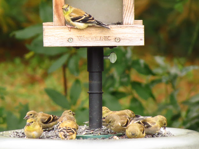 american goldfinches one at window