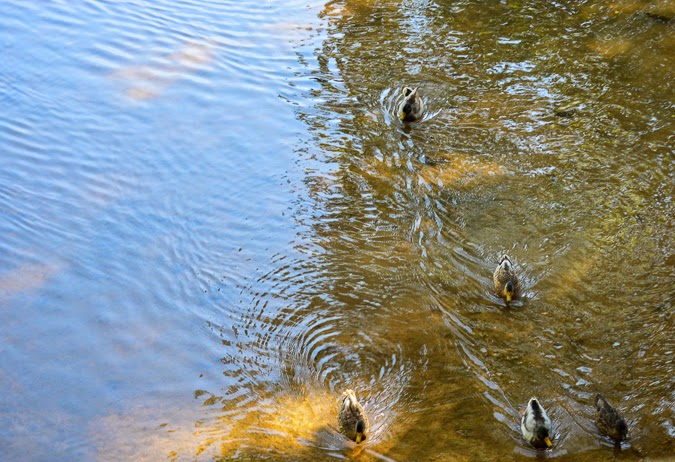 Ducks at Dunbar Cave