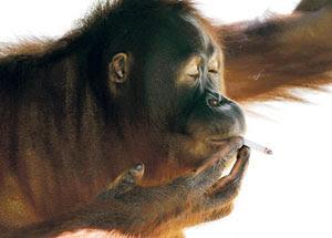 Orang Utan Haiwan Bijak Pandai Pelik Rokok