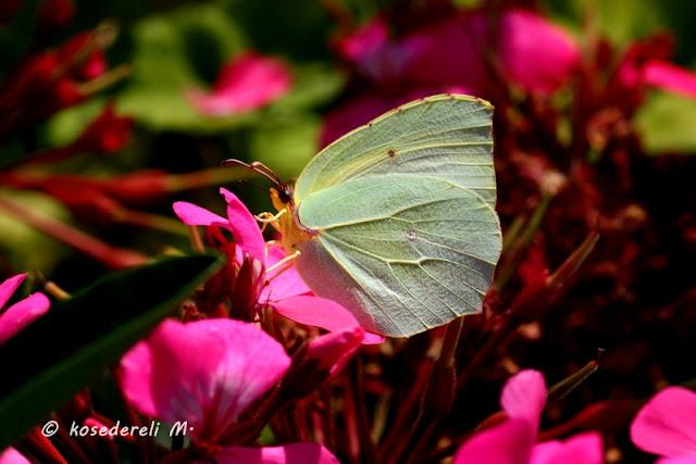Çiçekler içinde bir kleopatra kelebeğinin görünümü
