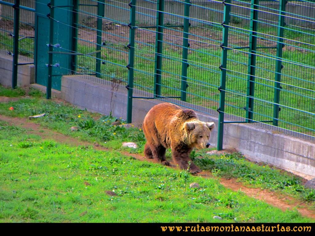 Rutas Montaña Asturias de las Pinturas Rupestres de Fresnedo: Paca en el cercado osero de Santo Adriano