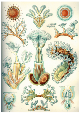 Ernst Haeckel's incredible scientific drawings of sea creatures