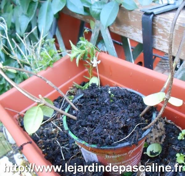 Le jardin de pascaline marcottage du jasmin toil - Jasmin etoile en pot ...