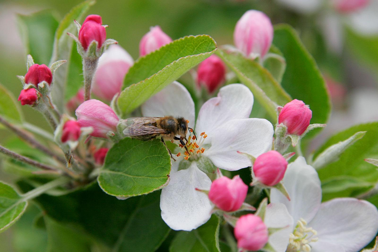 Wwe Wrestlers Profile Arkansas State Flower Apple Blossom Gallery