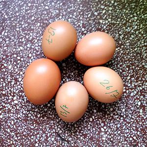 huevos gallina