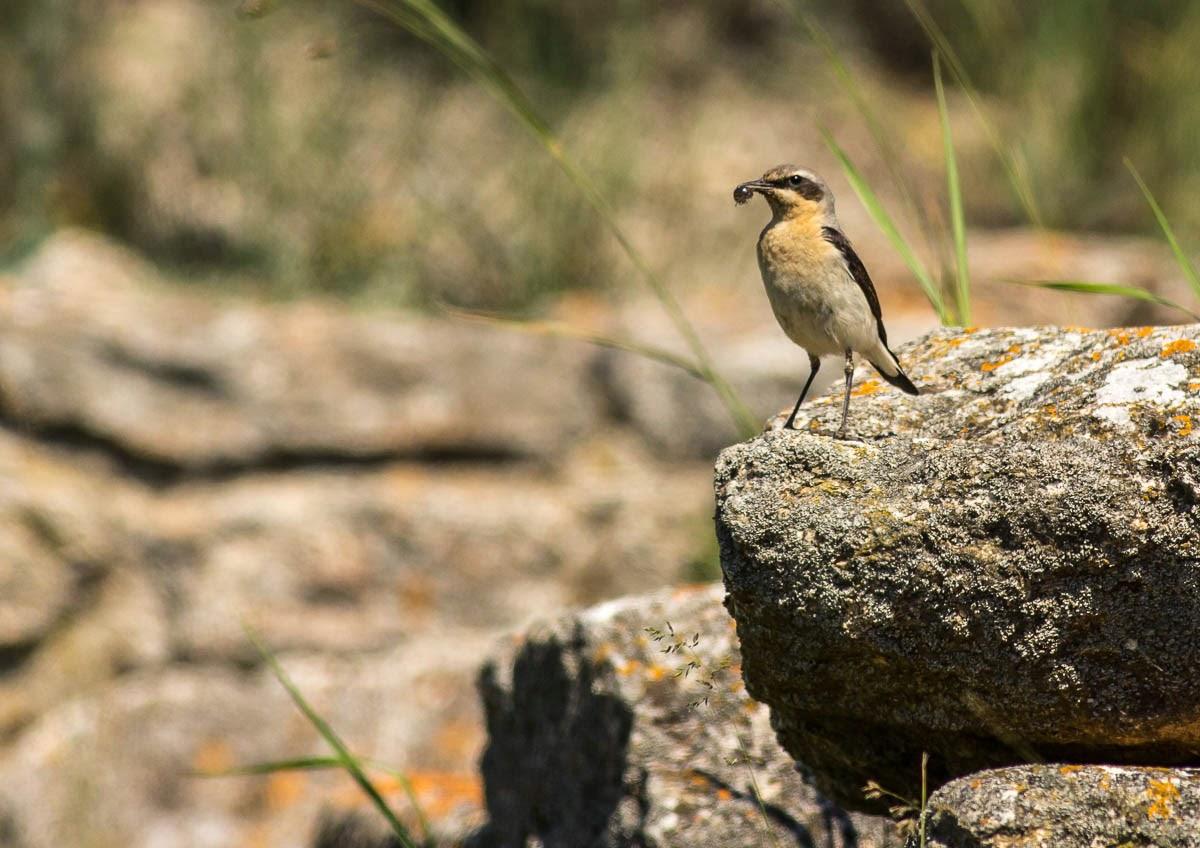 Northern Wheatear photography, copyright Iordan Hristov