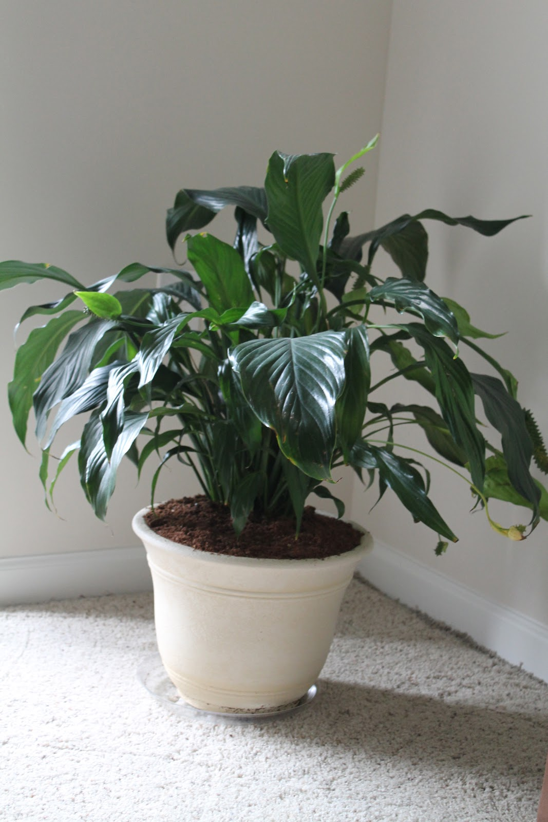 The dc boeses peace lily care my experience peace lily care my experience izmirmasajfo