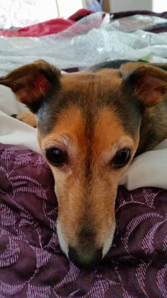 * Lucy * my 9 year old Jack Russell & best friend