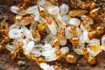 social insects Social insects and self-organization an ant is quite a simple animal its behavioral repertory is limited to ten to forty elementary behaviors.