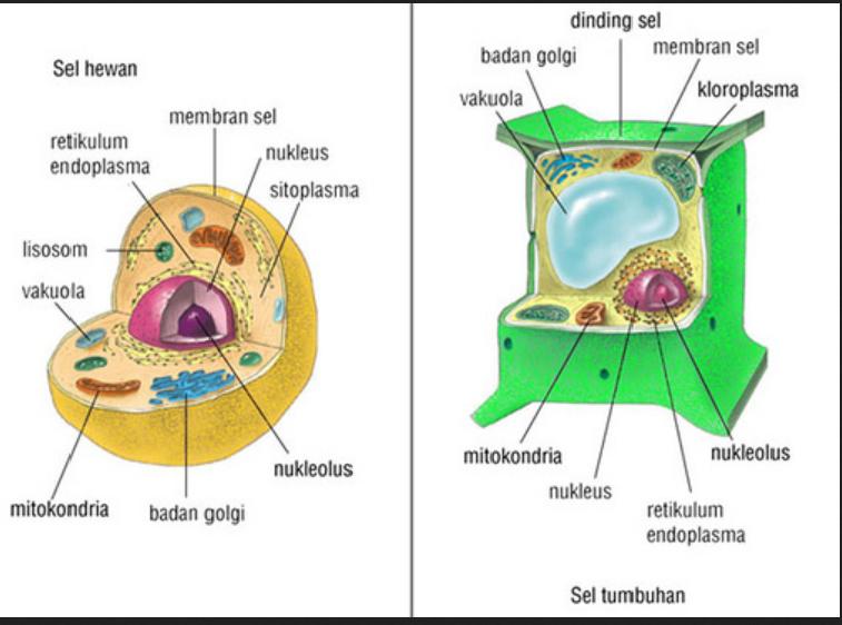 Penjelasan Pengertian Sel dan Bagian-Bagian Sel, Serta Fungsi-Fungsinya dan Bentuk Sel
