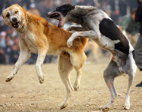 سباق مصارعة كلاب