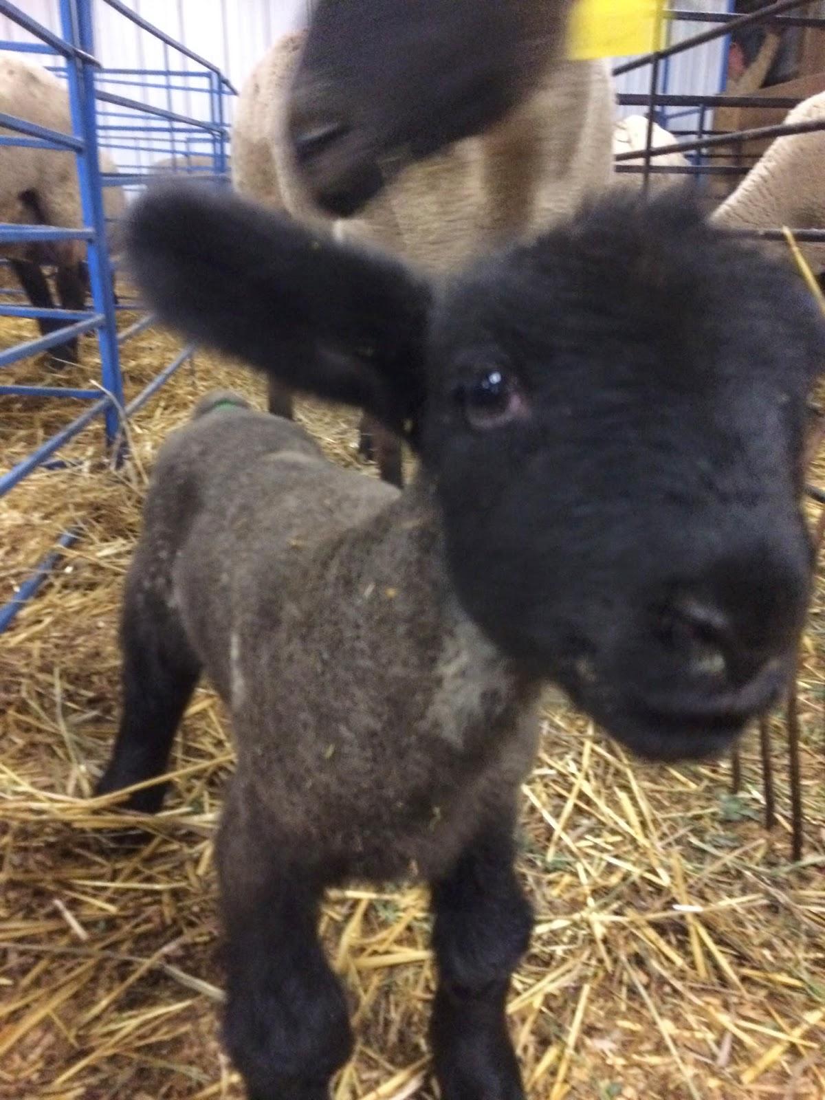 Baby lamb in a lambing jug