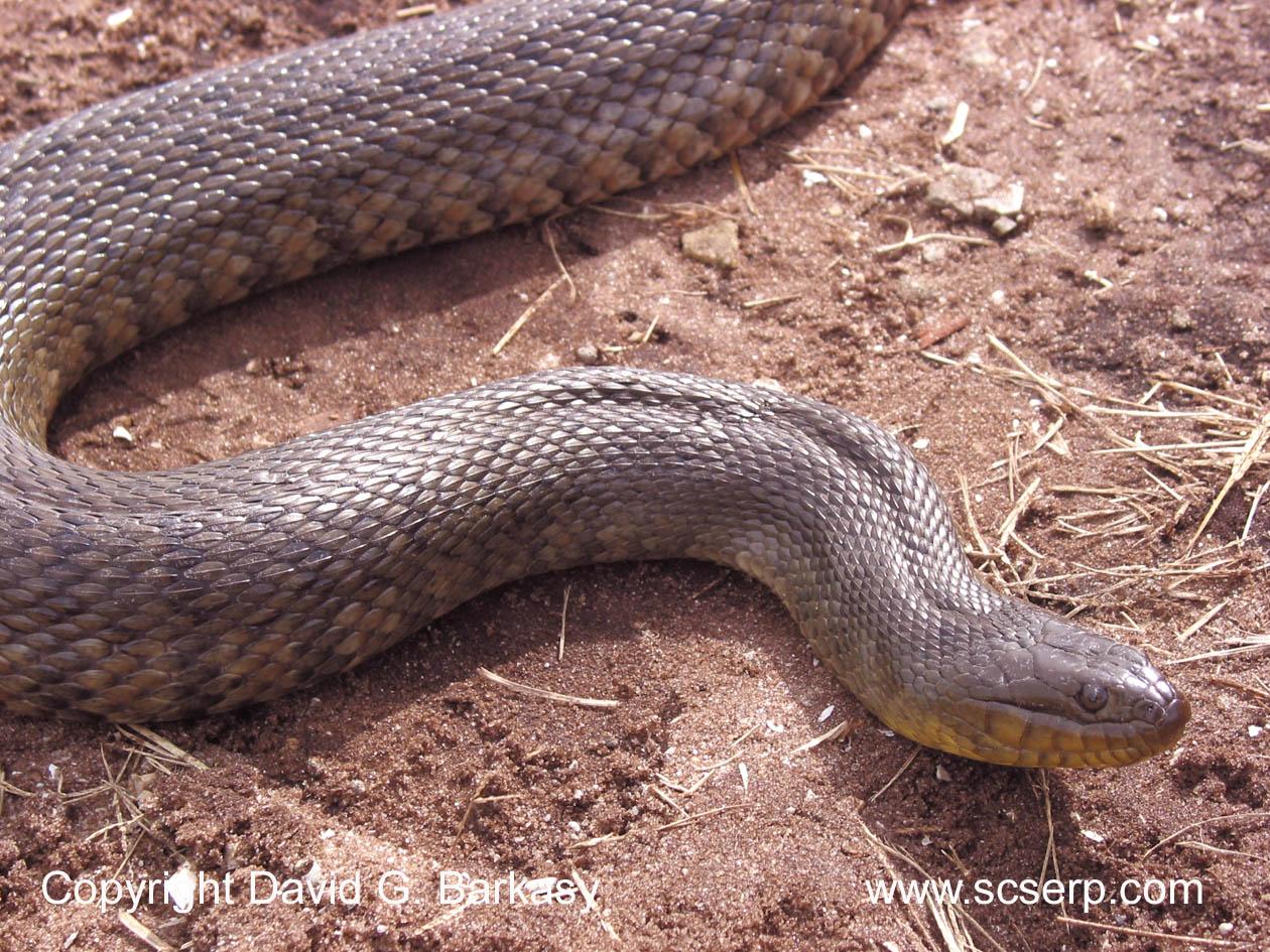 Animals World Water Snake
