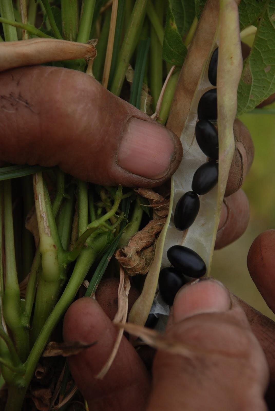 Foto de una planta de caraota be2f8bfae65