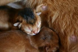 ruddy abyssinian kitten - Tawny - Usual