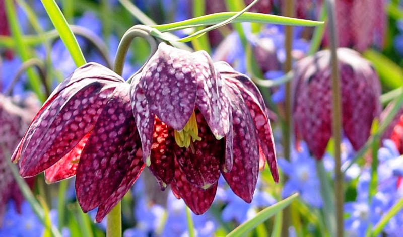 how to propagate the snake 39 s head fritillary fritallaria. Black Bedroom Furniture Sets. Home Design Ideas