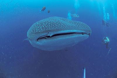 ikan paus jerung