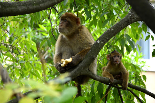 Gibraltar małpy
