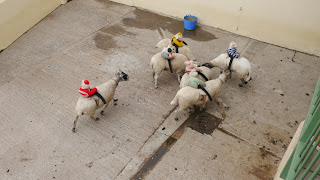 Funny Sheep Jockey