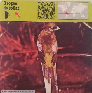 Blog Safari Club, el Trogon de collar, baja la cola cuando grita