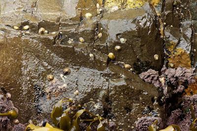 Scaly Limpet (Scurellastra peronii), Snakeskin Chiton (Sypharochiton pelliserpentis), etc