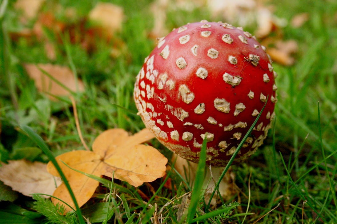 amanita muscaria wild red mushroom photography free wallpaper