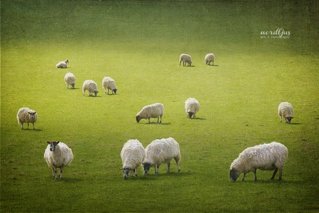 Nordljus Sheep