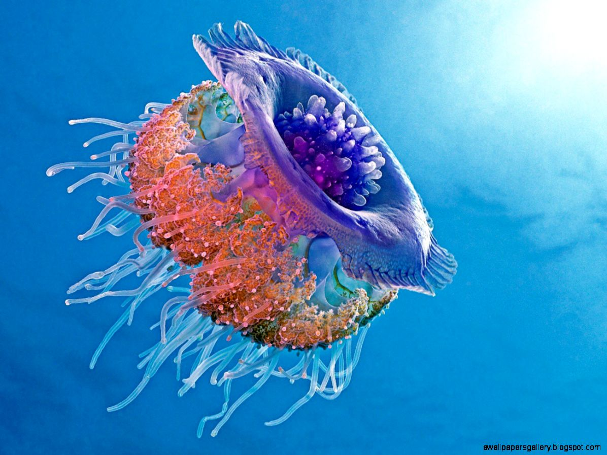 Most colorful jellyfish wallpapers gallery for Jellyfish wallpaper home