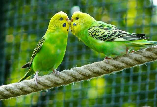 mengenal burung parkit dari habitatnya